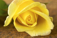 Closeup of freshly yellow rose flower Stock Photo