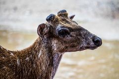 Spotted Deer. Closeup of a friendly spotted deer Royalty Free Stock Images