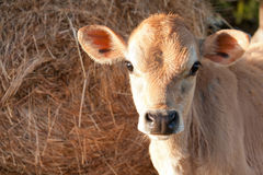 Closeup of friesen dairy cow calf stock photography