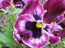 Closeup of Frizzle Sizzle Pansy royalty free stock image