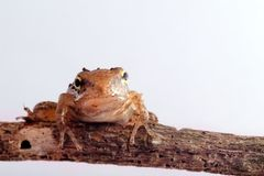 Closeup Frog isolated with white color. For the place you want to use Royalty Free Stock Images