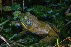 Closeup of frog sitting in a green pond. Closeup of green and blue frog sitting in green pond Royalty Free Stock Photo