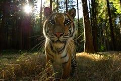 Closeup front look to siberian tiger with sun rays. Dangerous closeup of wild animal. Panthera tigris altaica stock photography