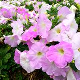 Closeup front pink flower in a beautiful garden. In Thailand Royalty Free Stock Photography