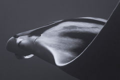 Closeup Front Profile of Giant Manta Ray Stock Photo