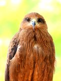 Closeup and Front view of Beautiful Golden Eagle. And is looking to the camera at VOC Park in Coimbatore stock photos