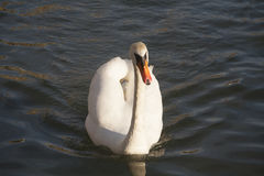 Closeup front view portrait of a mute swan cygnus olor royalty free stock photo