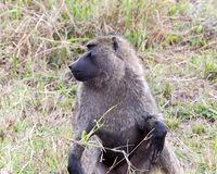 Closeup frontview of adult baboon sitting in grass with head turned to right Royalty Free Stock Photos
