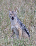 Closeup frontview of a black-backed jackal sitting in grass looking at the camera Stock Photo