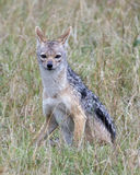 Closeup frontview of a black-backed jackal sitting in grass looking at the camera Stock Photography