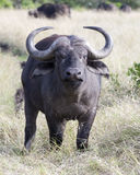 Closeup frontview of a cape buffalo with head raised looking directly into the camera with mouth closed. In the Masai Mara National Reserve, Kenya Royalty Free Stock Photography