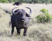 Closeup frontview of a cape buffalo with head raised looking directly into the camera with mouth open. In the Masai Mara National Reserve, Kenya Stock Photos