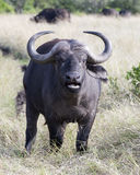 Closeup frontview of a cape buffalo with head raised looking directly into the camera with mouth open. In the Masai Mara National Reserve, Kenya Royalty Free Stock Photos
