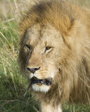 Closeup  frontview face of large male lion Stock Image