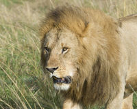 Closeup  frontview face of large male lion Royalty Free Stock Image