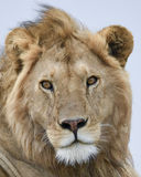 Closeup frontview of a lion head with eyes open and mouth closed. In the Serengeti National Park, Tanzania stock image