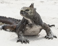 Closeup frontview of a marine iguana on a white sandy beach Royalty Free Stock Image