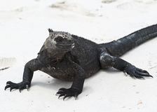 Closeup frontview of a marine iguana on a white sandy beach Stock Images