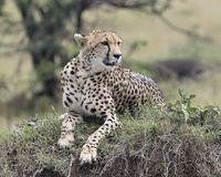 Closeup frontview of one adult cheetah lying resting on top of a grass covered mound. In the Masai Mara National Reserve, Kenya Royalty Free Stock Images