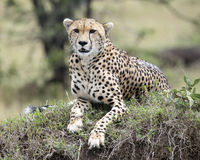 Closeup frontview of one adult cheetah lying resting on top of a grass covered mound. In the Masai Mara National Reserve, Kenya Stock Image