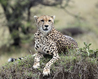 Closeup frontview of one adult cheetah lying resting on top of a grass covered mound. In the Masai Mara National Reserve, Kenya Royalty Free Stock Photos