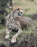 Closeup frontview of one adult cheetah lying resting on top of a grass covered mound. In the Masai Mara National Reserve, Kenya Royalty Free Stock Image