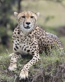 Closeup frontview of one adult cheetah resting on top of a grass covered mound Royalty Free Stock Photo