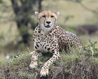 Closeup frontview of one adult cheetah resting on top of a grass covered mound Stock Photo