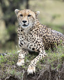 Closeup frontview of one adult cheetah resting on top of a grass covered mound Royalty Free Stock Image