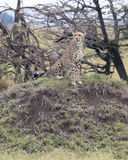 Closeup frontview of one adult cheetah sitting resting on top of a grass covered mound. In the Masai Mara National Reserve, Kenya Stock Image