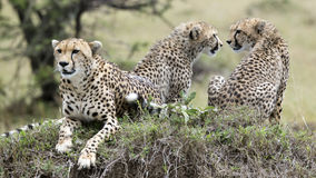 Closeup frontview of one cheetah and backview of two cheetah resting on top of a grass covered mound Stock Images