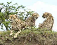 Closeup frontview of one cheetah and backview of two cheetah resting on top of a grass covered mound Royalty Free Stock Photos