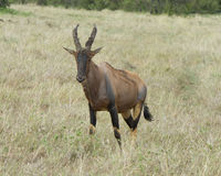 Closeup frontview of a single adult Topi with antlers standing in grass Stock Images