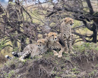 Closeup frontview of three young cheetah resting on top of a grass covered mound Royalty Free Stock Photos