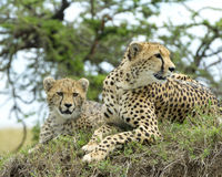 Closeup frontview of two adult cheetah resting on top of a grass covered mound Royalty Free Stock Image