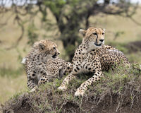 Closeup frontview of two adult cheetah resting on top of a grass covered mound Royalty Free Stock Images