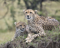 Closeup frontview of two adult cheetah resting on top of a grass covered mound. In the Masai Mara National Reserve, Kenya Royalty Free Stock Photo