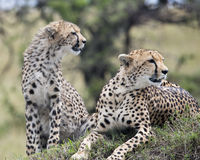Closeup frontview of two cheetah resting on top of a grass covered mound Royalty Free Stock Images
