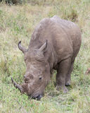Closeup frontview of a White Rhino standing eating grass Stock Images