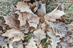 Closeup of frost on oak leaves Stock Image