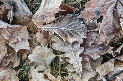 Closeup of frost on oak leaves Stock Photo