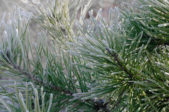 Closeup of frost on pine Stock Image