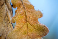 Closeup of a frosted oak leaf. Early morning light sparkles on the frosted leaf Stock Photography
