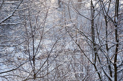 Closeup of frozen twigs Royalty Free Stock Image