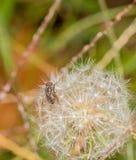 Closeup on a fruit fly on a dandelion Stock Photo
