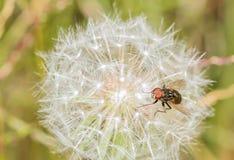 Closeup on a fruit fly on a dandelion Stock Photos
