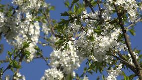 Closeup of fruit tree branch with white blooms in spring. 4K. Closeup of fruit tree branches twigs with white blooms move in wind in spring time on blue sky stock footage