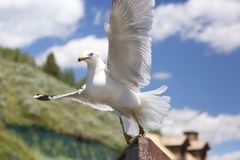 Closeup of a flying Seagull over a river royalty free stock image