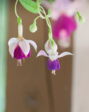 Closeup of Fuchsia Hanging plant. Fuchsia hanging plant with 2 flower stock photography
