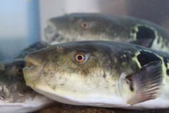 Closeup of fugu Stock Photos
